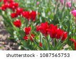 field of red tulips in spring... | Shutterstock . vector #1087565753
