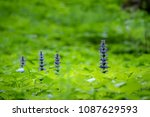 Small photo of Blue Ajuga flowers also known as bugleweed, ground pine or carpet bugle - detail from spring or summer nature. Czech Republic, Europe.