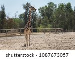 giraffe  giraffa camelopardalis ...   Shutterstock . vector #1087673057