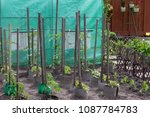 tomato plant growing in soil | Shutterstock . vector #1087784783
