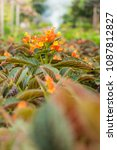 Small photo of Chrysothemis pulchella Decne,Gesneriaceae flower