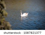 mute swan in creamy juvenile... | Shutterstock . vector #1087821377