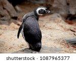african penguin close up ... | Shutterstock . vector #1087965377