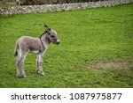 This Is A Newborn Donkey Foal...