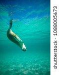 australian sea lion | Shutterstock . vector #1088005673