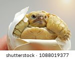 close up baby tortoise hatching ... | Shutterstock . vector #1088019377