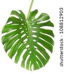 Single Monstera Leaf Isolated...