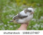 young cute bird canary finch...   Shutterstock . vector #1088137487