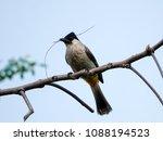 lovely bird with twig in beak... | Shutterstock . vector #1088194523