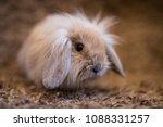 studio shot of domestic rabbit...   Shutterstock . vector #1088331257