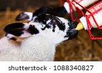 new born lamb suckling from... | Shutterstock . vector #1088340827