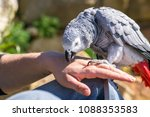 a parrot sits on a hand. | Shutterstock . vector #1088353583