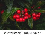 Small photo of Red fruit of Christmas berry, Australian holly, Coral ardisia, Coral bush, Coralberry, Coralberry tree, Hen's-eyes, Hilo Holly, Spiceberry (Ardisia crenata Sims)