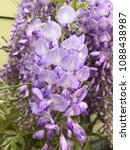 Small photo of American Wisteria Tree and Flowers