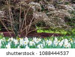 field of blooming  daffodils on ...   Shutterstock . vector #1088444537