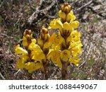 yellow wild flowers | Shutterstock . vector #1088449067
