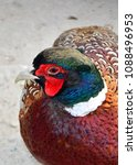 bright plumage of a pheasant | Shutterstock . vector #1088496953