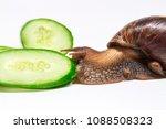 snail eating cucumber on a... | Shutterstock . vector #1088508323
