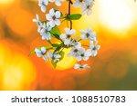 cherry flowers in warm colors   ... | Shutterstock . vector #1088510783