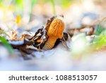 morchella esculenta edible... | Shutterstock . vector #1088513057
