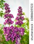 lilac. lilacs  syringa or...   Shutterstock . vector #1088605523