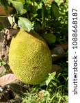 Small photo of Jack fruit tree, fruits on tree have properties medicine.