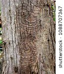 Small photo of Detail of a perennial target canker on the trunk of a red maple tree.