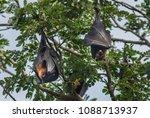 bat haw body sleeping on the...   Shutterstock . vector #1088713937