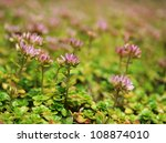 Clover flowers - stock photo