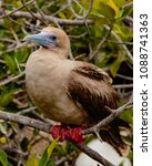 rdd footed booby on perch  on... | Shutterstock . vector #1088741363