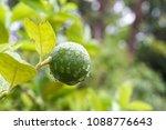 green lime on tree  fresh lemon | Shutterstock . vector #1088776643