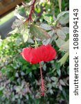 Small photo of The hibiscus is a flowering plant of the genus Hibisceae. Malvaceae are native plants in East Asia.