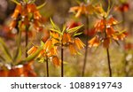 flowers of the imperial crown ... | Shutterstock . vector #1088919743