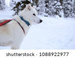 Small photo of Husky sledge dog