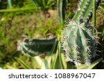 cactus grown as ornamental... | Shutterstock . vector #1088967047