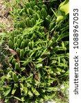 cactus grown as ornamental... | Shutterstock . vector #1088967053