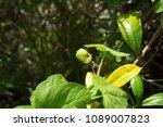 passiflora foetida fetid... | Shutterstock . vector #1089007823