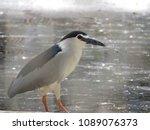 closeup of a great blue heron... | Shutterstock . vector #1089076373