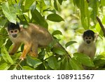 Wild Squirrel Monkeys In Trees