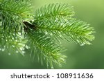 Branch of a coniferous tree with raindrops - stock photo
