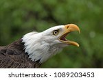 solitary bald eagle screeching | Shutterstock . vector #1089203453