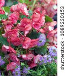 potted begonias and verbena on... | Shutterstock . vector #1089230153