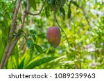 a ripe mango growing on a tree. | Shutterstock . vector #1089239963