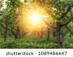 apple garden at sunset  or...   Shutterstock . vector #1089486647