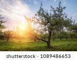 apple garden at sunset  or...   Shutterstock . vector #1089486653