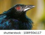 head of a trumpet manucode ... | Shutterstock . vector #1089506117