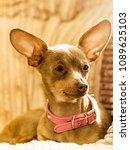 little pinscher ratter prazsky... | Shutterstock . vector #1089625103