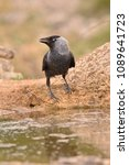 the western jackdaw  coloeus... | Shutterstock . vector #1089641723