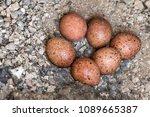 six eggs of the common kestrel  ...   Shutterstock . vector #1089665387