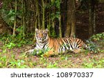 bengal tiger resting in the... | Shutterstock . vector #108970337